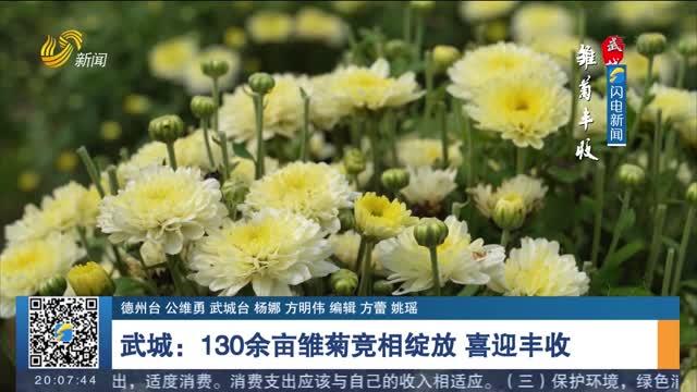 【诗画山东】武城:130余亩雏菊竞相绽放 喜迎丰收