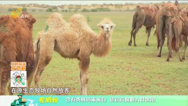 20210908《中国原产递》:驼奶粉