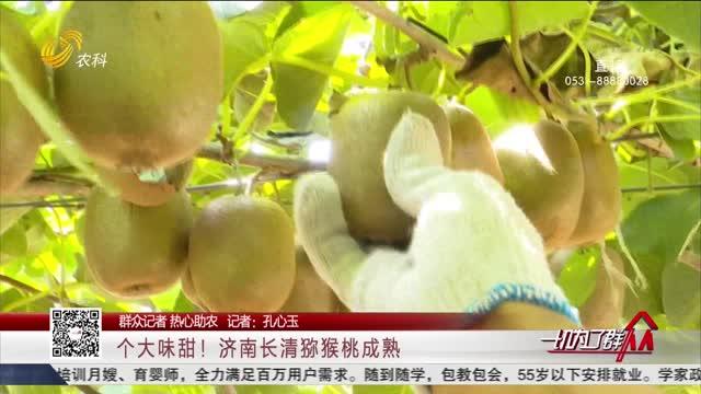 【群众记者 热心助农】个大味甜!济南长清猕猴桃成熟