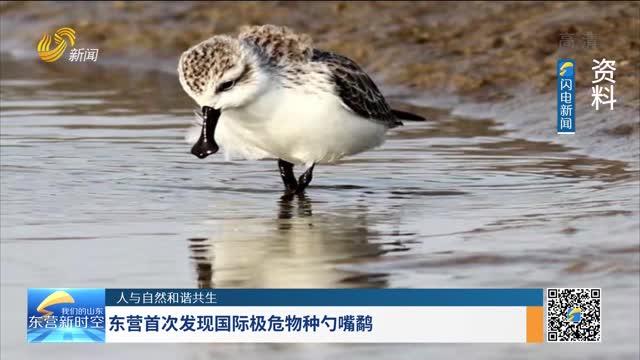 【人与自然和谐共生】东营首次发现国际极危物种勺嘴鹬
