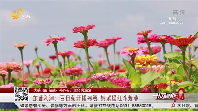 【大美山东】东营利津:百日菊开铺锦绣 姹紫嫣红斗芳菲