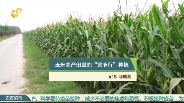 """玉米高产地里的""""宽窄行""""种植"""