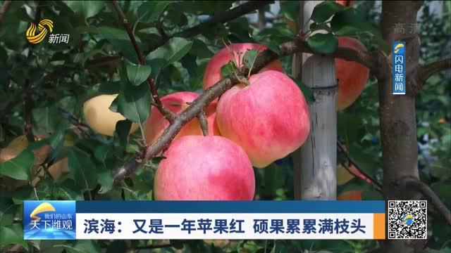 滨海:又是一年苹果红 硕果累累满枝头