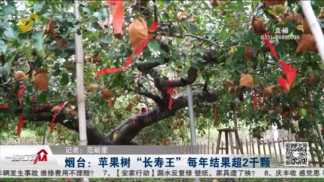 """烟台:苹果树""""长寿王"""" 每年结果超2千颗"""