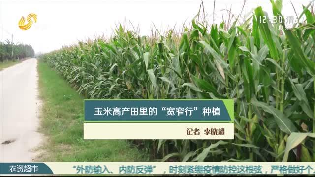 """玉米高产田里的""""宽窄行""""种植"""