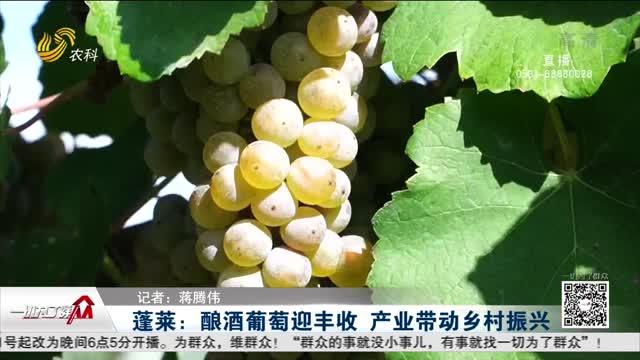 蓬莱:酿酒葡萄迎丰收 产业带动乡村振兴