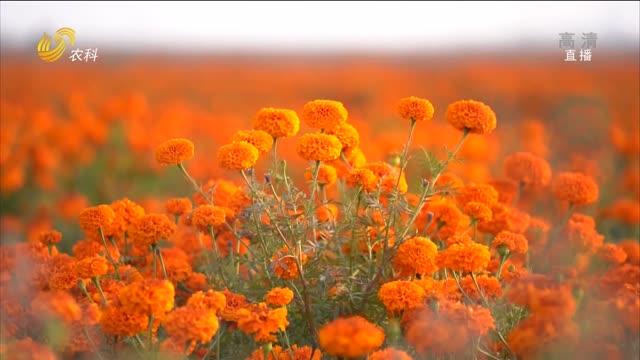 六千亩万寿菊盛开的美丽画面