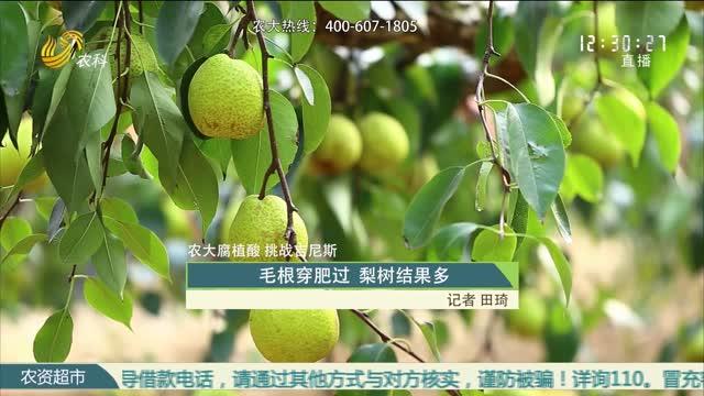 【农大腐植酸 挑战吉尼斯】毛根穿肥过 梨树结果多