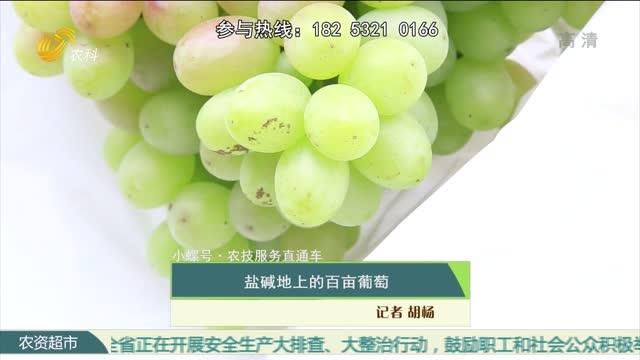 【小螺号·农技服务直通车】盐碱地上的百亩葡萄