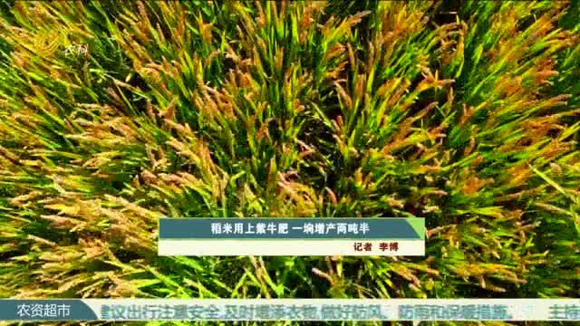 稻米用上紫牛肥 一垧增产两吨半