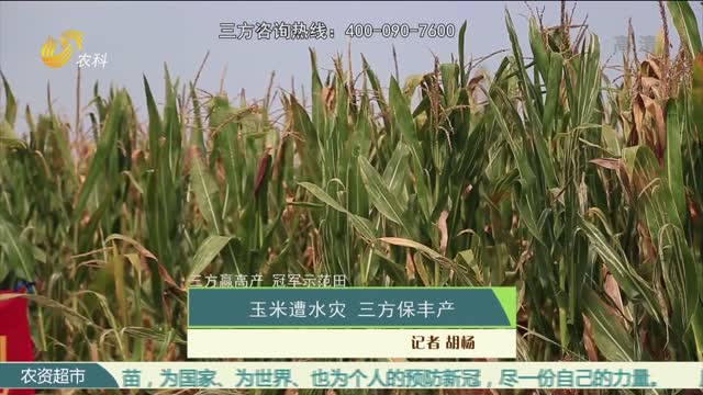 【三方赢高产 冠军示范田】玉米遭水灾 三方保丰产