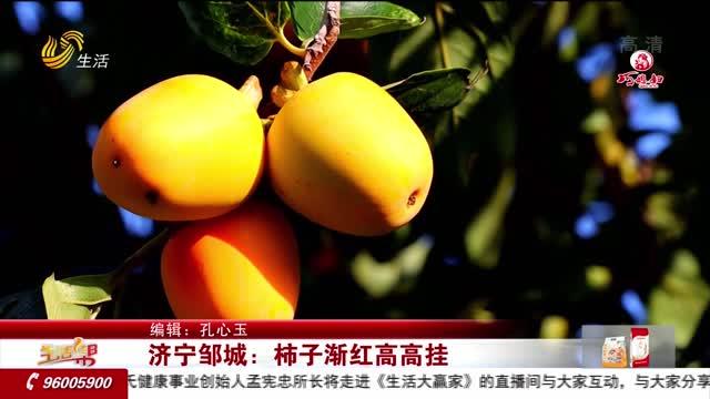 济宁邹城:柿子渐红高高挂