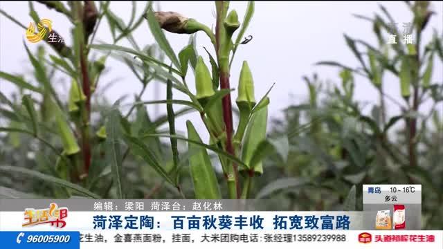 菏泽定陶:百亩秋葵丰收 拓宽致富路