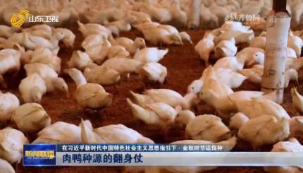 【在习近平新时代中国特色社会主义思想指引下·金秋时节话良种】肉鸭种源的翻身仗