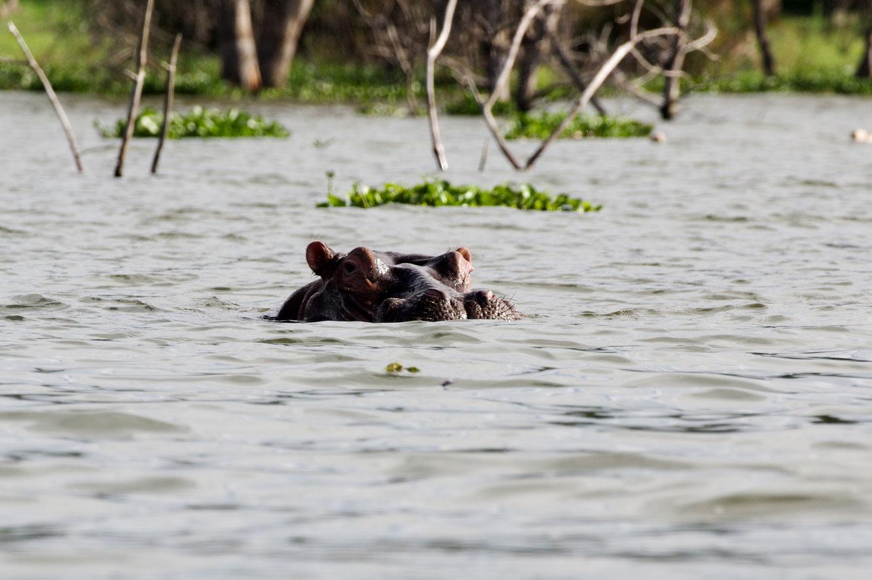 奈瓦莎湖里的河马1.jpg