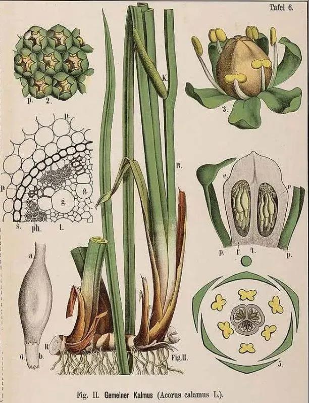 科学绘画||被子植物菖蒲科的成员